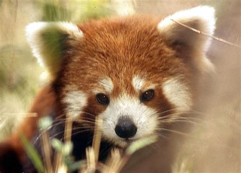 What Red Pandas Need to Grow Up Big and Strong | Cuteness