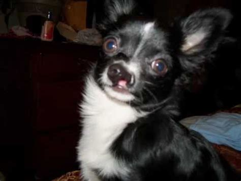 Pearl, The Princess Baby Puppy - Chihuahua born with a
