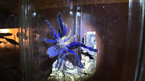 Lampropelma violaceopes mating - YouTube