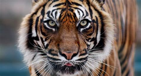Tiger | What You Can Do to Help Tigers | Defenders of Wildlife