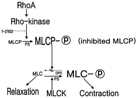 Role of rho-kinase activity in angiotensin II-induced