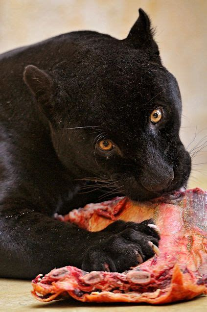 Panther eating some Wildcat meat! | Wild cats, Panther